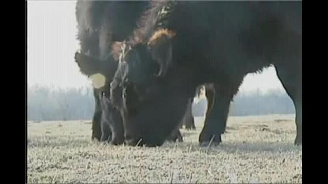 App Helps Reduce Heat-Related Deaths Among Cattle